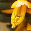 Mamane_Pua<br /> (c) Pualani Kanahele