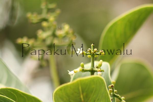 Holei.Kaloko<br /> (c) Kalei Nuuhiwa