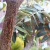 Pokalakala.Kapalama, Oahu<br /> na Kuulei Kanahele