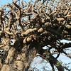 Wiliwili (100 yrs old).Kanaloa Kahoolawe<br /> (c) Kalei Nuuhiwa