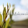 Aalii_Lau.Kona Mauka Road<br /> (c) Kuulei Kanahele