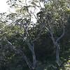 Koa.Puu Huluhulu<br /> (c) Kalei Nuuhiwa