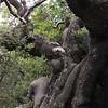 Koa.Mauna Loa<br /> na Kuulei Kanahele