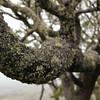 Koa<br /> Acacia koa<br /> Puu Huluhulu<br /> (c) Kalei Nuuhiwa