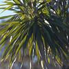 Halapepe<br /> pleomele hawaiiensis<br /> puu waawaa<br /> (c) Kalei Nuuhiwa