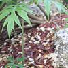 Pia.Kapalama, Oahu<br /> (c) Kuulei Kanahele