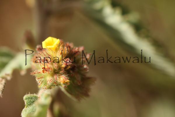 Uhaloa<br /> Haakulamanu<br /> (c) Kuulei Kanahele