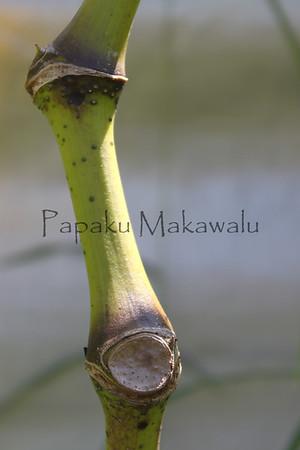 Awa.Panaewa<br /> (c) Kuulei Kanahele