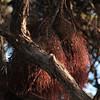Ohia Lehua_Aerial Roots<br /> (c)Kalei Nuuhiwa