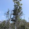 Kolea.Keauhou Forest, Kona<br /> (c) Kuulei Kanahele