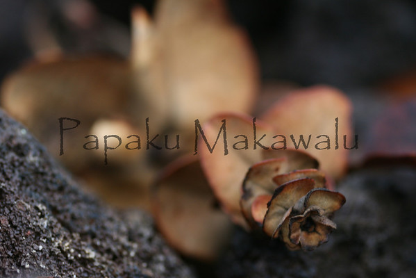 Ohia Lehua_Liko.Kona Mauka Road<br /> (c) Kuulei Kanahele
