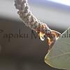 Pokalakala.Kapalama, Oahu<br /> (c) Kuulei Kanahele