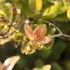 Ohia<br /> Oahu<br /> Kalei Nuuhiwa<br /> (c) 2011