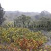 Aalii.Mauna Loa<br /> (c) Kuulei Kanahele