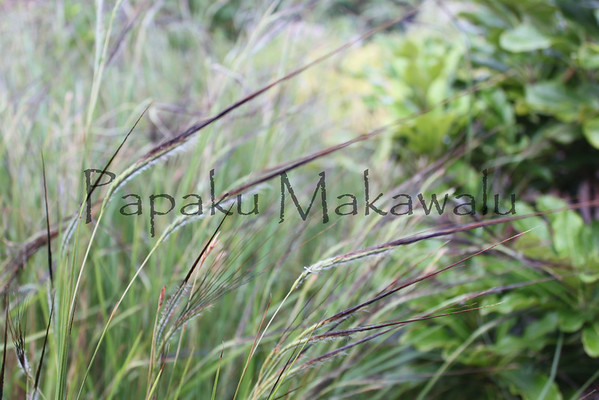 Pili.Kapalama, Oahu<br /> (c) Kuulei Kanahele