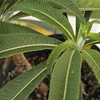 Opelu Plant<br /> (c) Kalei Nuuhiwa2011