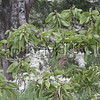 Koa.Puu Huluhulu<br /> (c) Kuulei Kanahele