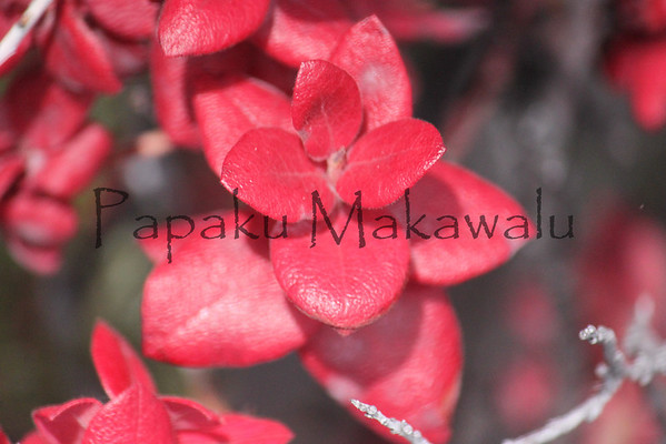 Ohelo.Mauna Loa<br /> (c) Kuulei Kanahele
