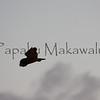 Pueo.Kahoolawe<br /> (c) Pualani Kanahele