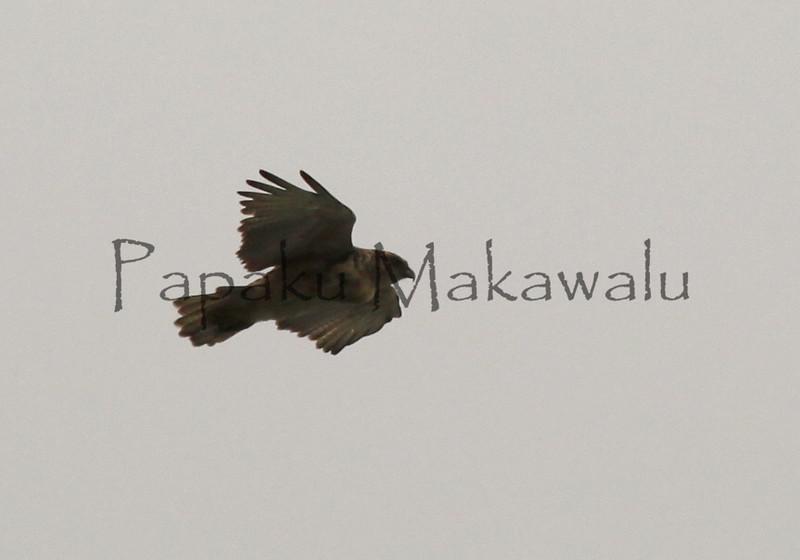 Io<br /> Kahuwai<br /> (c)Kalei Nuuhiwa 2011