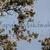 Amakihi<br /> (c) Pualani Kanahele