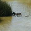 Alae Kea<br /> (c) Kalei Nuuhiwa