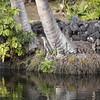 Aukuu.Poo Hawaii, Kahaluu<br /> (c) Pualani Kanahele