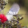 Amakihi<br /> (c) Kalei Nuuhiwa