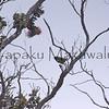 Amakihi.Mauna Loa<br /> (c) Kuulei Kanahele