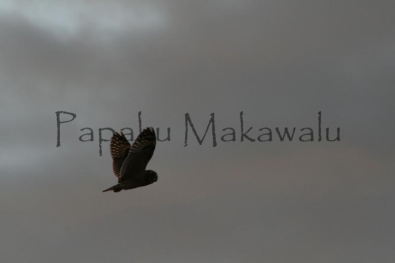 Pueo.Kealaikahiki<br /> (c) Kalei Nuuhiwa