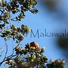 Apapane.Saddle <br /> (c) Kalei Nuuhiwa