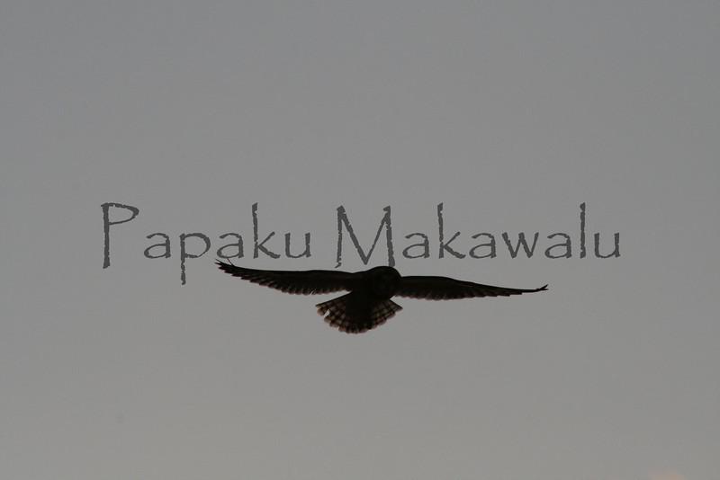 Pueo.Kahoolawe<br /> (c) Kalei Nuuhiwa