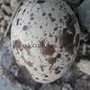 Hua_Ewaewa<br /> (c) Ulumau Kealiikanakaoleohaililani