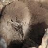Uau chick<br /> (c) Kalei Nuuhiwa 2011 sept