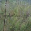 (c) Kauila Kealiikanakaoleohaililani
