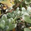 Hinahina.Kahoolawe<br /> (c) Kalei Nuuhiwa