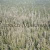 Panaewa forest<br /> Ohia Lehua dieback<br /> (c) Kalei Nuuhiwa