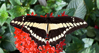 Papilio Thoas, Porte -queue Thoas