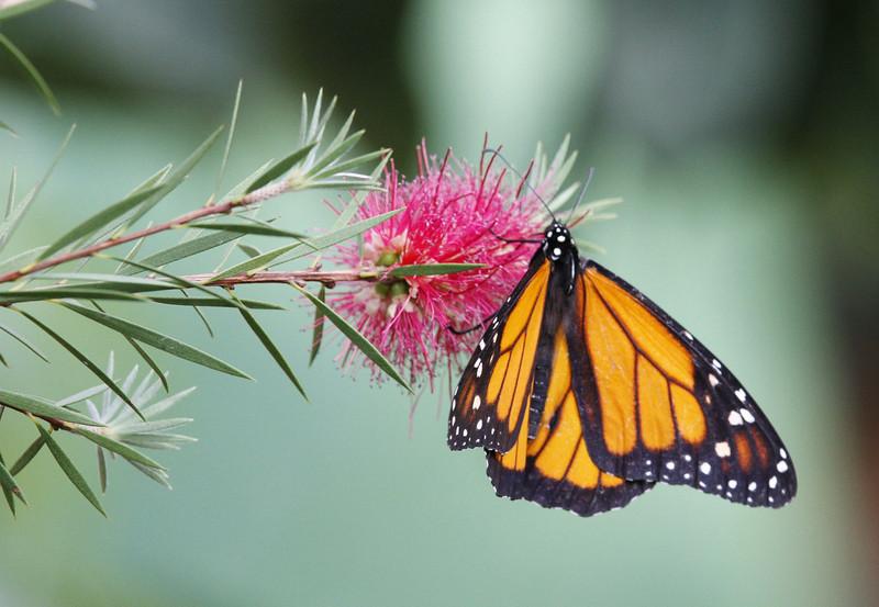 Monarque, monarch.