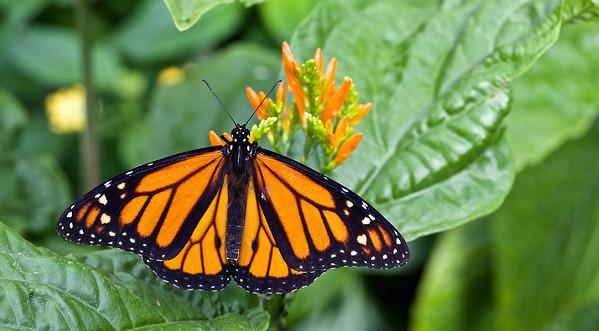 Danaus plexippus, monarque, monarch.