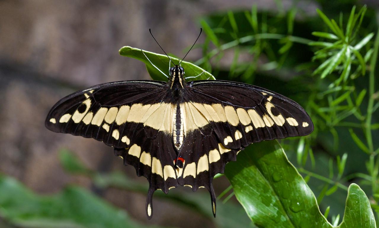 Papilio Thoas, Porte -queue Thoas
