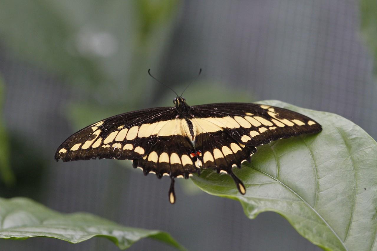 Papilio thoas Porte- queue thoas Swallow tail butterfly.
