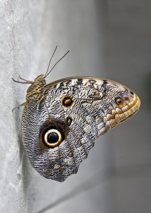 Caligo sp, Papillon chouette.