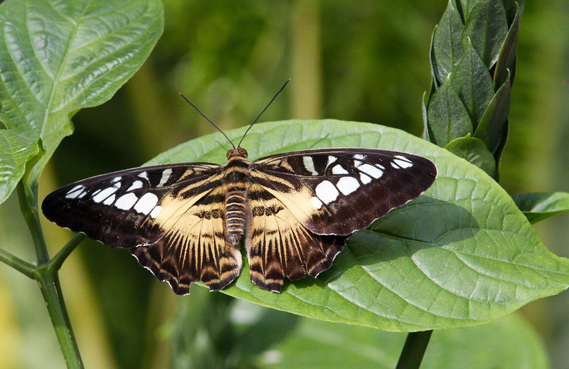 Parthenos sylvia, clipper, clipper.
