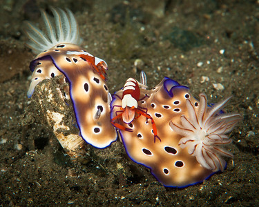 Nudibranchs with emperor shrimp