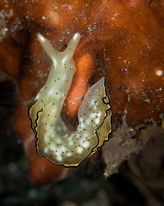 Elysia ornata, Ornate sapsucking slug