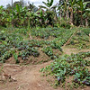 Taro plant mounds. Taro and sweet potatoes are staple food items for the people of the New Guinea Highlands.