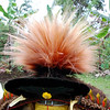 Another example of decoration for the wig of a Huli Wigmen. Tari Highlands, Southern Highlands Province, Papua New Guinea