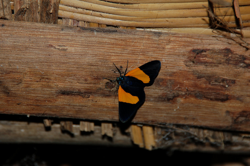 Butterfly at Our Jungle Lodge, Tari Basin in Southern Highlands, Papua New Guinea
