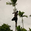 Harvesting the betel nuts from a Betel Nut Tree. Many people chew betel nuts in Papua New Guinea. This is the cause for the stained red teeth that is so common amongst islanders.